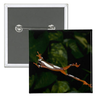 Clown Treefrog, Hyla leucophylatta, Native to Pins