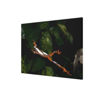 Clown Treefrog, Hyla leucophylatta, Native to Canvas Print