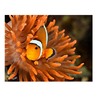 Clownfish In Marine Aquarium Postcard