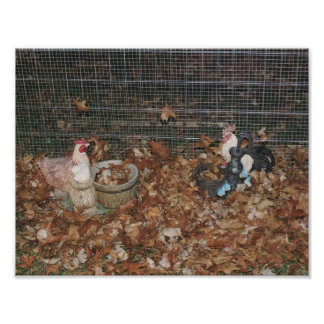 Cluck Chillin Photographic Print