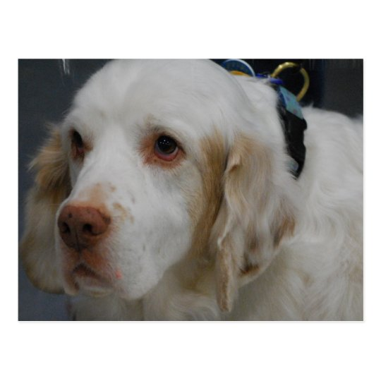 Clumber Spaniel Dog  Postcard