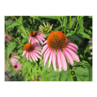 Cluster of Cone Flowers Photographic Print