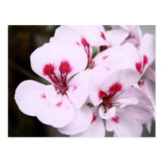 Cluster of Pretty White and Pink Geranium Blossoms Postcard