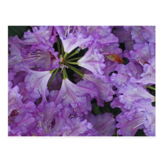 Cluster of Rhododendron Blossom Postcard