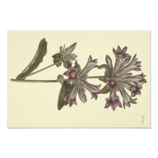 Clustered Bellflower Botanical Illustration Photo