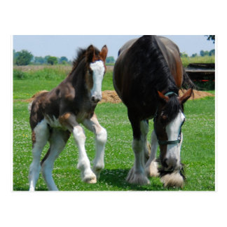 clydesdale and filly postcard
