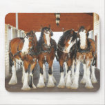 Clydesdale Draught   Horses in the Barn