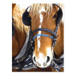 Clydesdale Draught   Horses Postcard