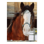 Clydesdale horse post card