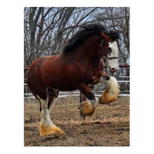 Clydesdale stud colt running postcard
