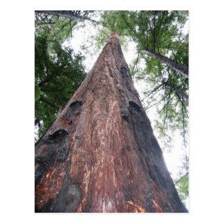 Coastal Redwood - Big Sur, California Post Cards