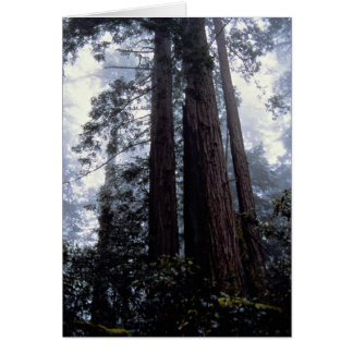 Coastal Redwoods, Lady Bird Johnson Grove, Califor Card