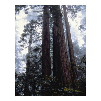 Coastal Redwoods, Lady Bird Johnson Grove, Califor Flyers