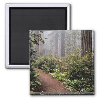 Coastal redwoods, Lady Bird Johnson Grove, Califor Square Magnet
