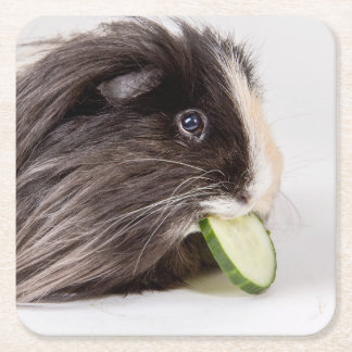 Coaster with cute guinea pig eating cucumber