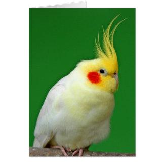 Cockatiel bird beautiful photo blank greeting card