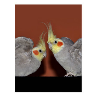 Cockatiel Duo Postcard