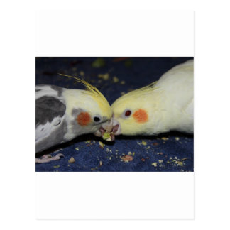 Cockatiel Love Postcard