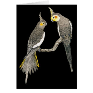 Cockatiel Pair - Nymphicus hollandicus on Black Card