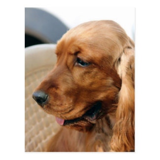 Cocker Spaniel dog Postcard