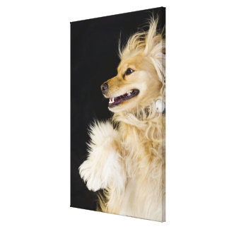 cocker spaniel mix on its back canvas print