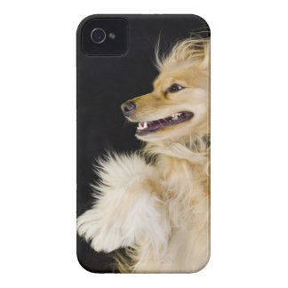 cocker spaniel mix on its back iPhone 4 Case-Mate cases