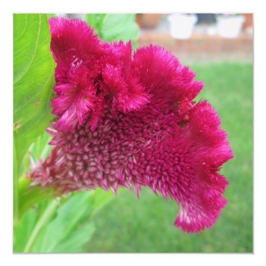 Cockscomb Celosia Red Flower Card