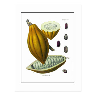Cocoa bean vintage illustration card postcard