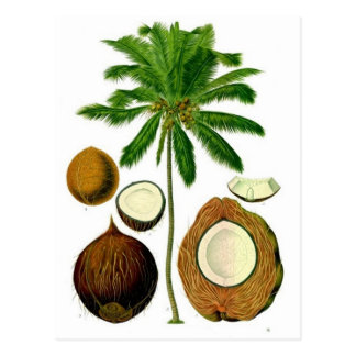 Coconut Tree Botanical Illustration Postcard