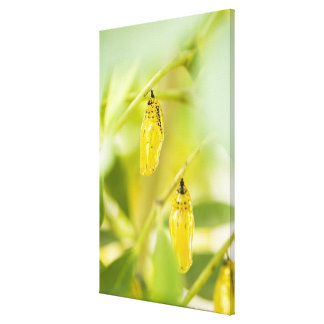 Cocoon of Paper Kite Butterfly, Okinawa Canvas Print