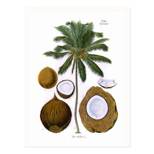 Cocos nucifera (coconut palm) postcard
