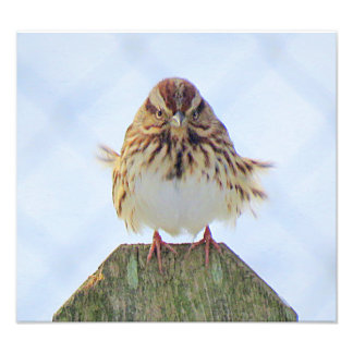 Cold Song Sparrow Photo Print