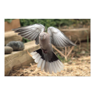 Collared Dove Photo Print