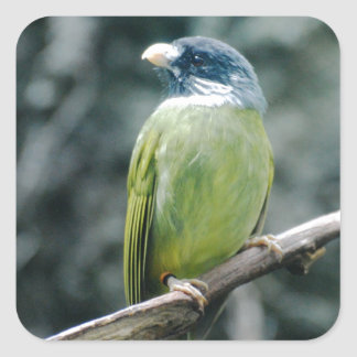 Collared Finch Bellied Bulbul Sticker