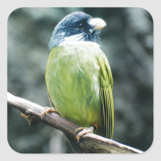 Collared Finch-Billed Bulbul Stickers
