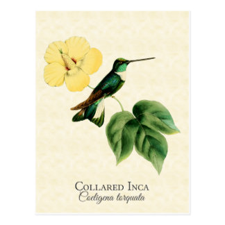 Collared Inca Hummingbird Art Postcard