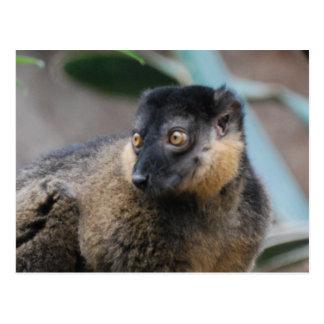 Collared Lemur Postcard