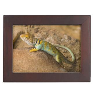 Collared Lizard Keepsake Box