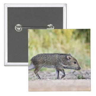 Collared peccary juvenile 15 cm square badge
