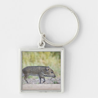 Collared peccary juvenile key ring