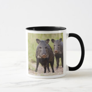 Collared Peccary Pecari tajacu) adults, Santa Mug