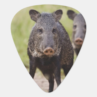 Collared Peccary Pecari tajacu) adults, Santa Plectrum
