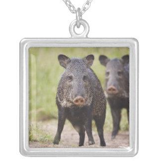 Collared Peccary Pecari tajacu) adults, Santa Silver Plated Necklace