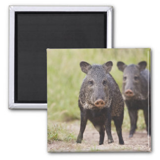 Collared Peccary Pecari tajacu) adults, Santa Square Magnet