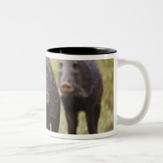 Collared Peccary Pecari tajacu) adults, Santa Two-Tone Coffee Mug