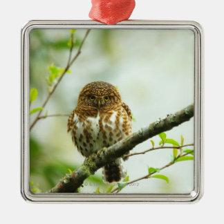 Collared pigmy owlet perching on tree branch, christmas ornament