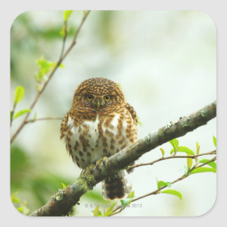 Collared pigmy owlet perching on tree branch, square sticker
