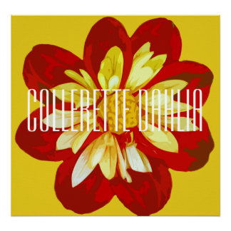 Collerette dahlia - Canvas Poster