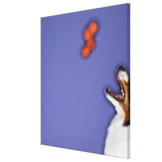 Collie catching plastic bone canvas print