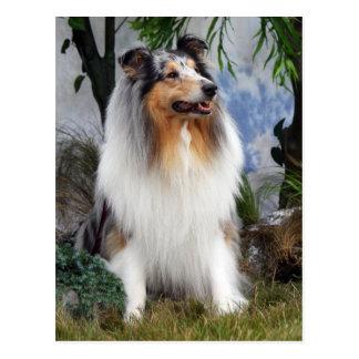 Collie dog blue merle, postcard